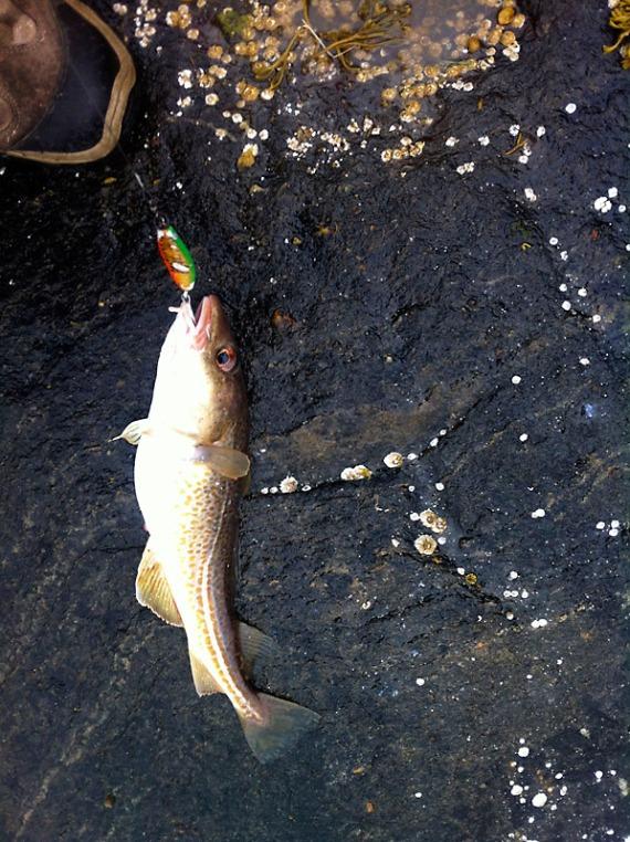Mein allererster selbst gefangener Fisch. Zu klein, der darf zurück in den Fjord.
