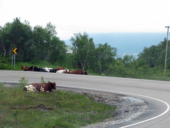 Kühe liegen entlang der Straße auf dem Pass Richtung Nesna