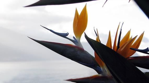 Klischeefoto Madeira: Die Strelitz ist das Wahrzeichen der Insel